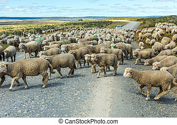 Herd of sheep on the road in Tierra del Fuego