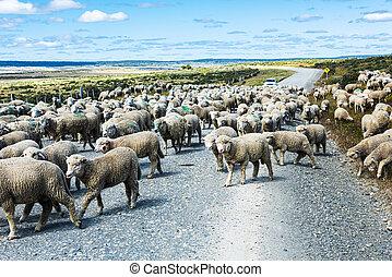 Herd of sheep on the road in Tierra del Fuego - Herd of ...