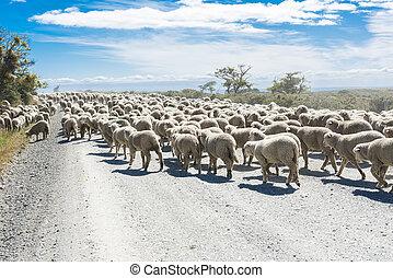 Herd of sheep on the road in Tierra del Fuego