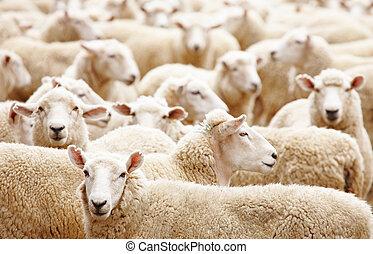 Herd of sheep - Livestock farm, Herd of sheep close up