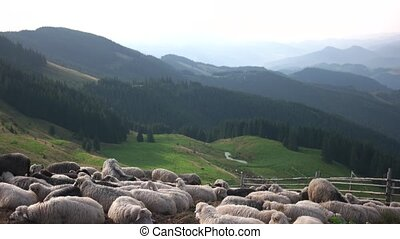 Herd of sheep resting on grassy slope.