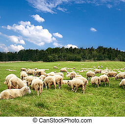 Herd of sheep