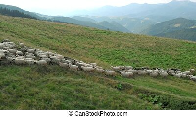 Herd of sheep walking on mountains pasture.