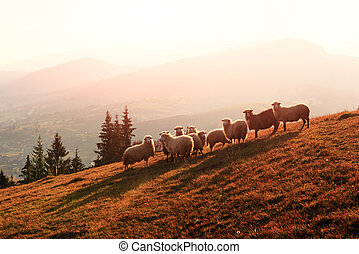 Herd of sheeps in autumn mountains.