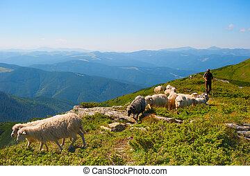 Herd of sheeps - Shepherd with herd of sheeps on top of...