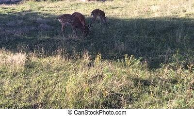 Herd of  Sika deer graze in the meadow.