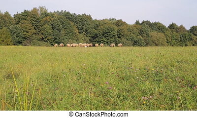 Herd of small and large sheep grazes in a meadow