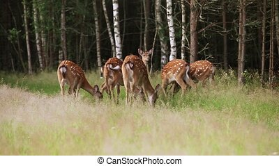 Herd of spotted deer grazing in the woods early in the...