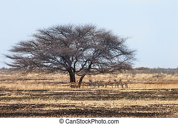 Herd of Springbok antelopes