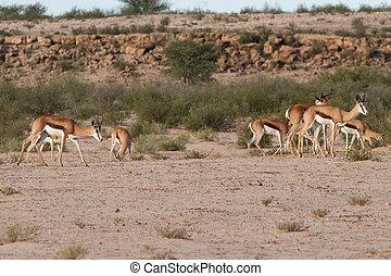 Herd of springbok grazing in the kalahari desert on green...