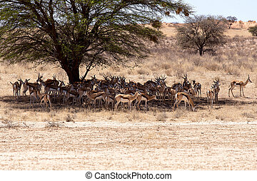 herd of springbok hiding under a big acacia from the midday...