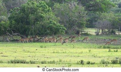 Herd of Sri Lankan Axis Deer Grazing in the Wild - Herd of...