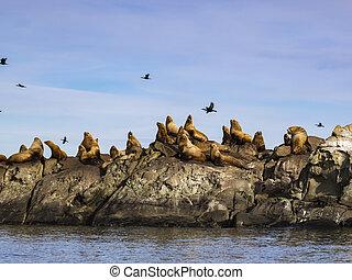 Herd of Steller Sea Lions (Eumetopias jubatus)