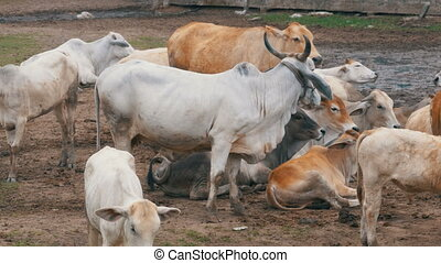 Herd of Thai Cows Grazing on a Dirty Pasture in Asia. Open...