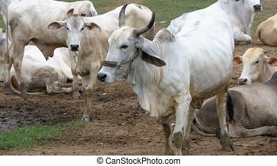 Herd of Thai Cows Grazing on a Dirty Pasture in Asia. Open cow farm field. Thailand. Slow Motion