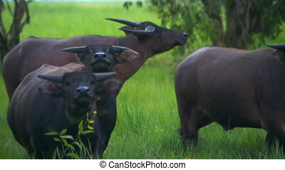 Herd Of Water Buffalo Staring At Camera