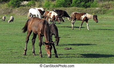 Herd of white and brown horses graze grass on a lawn in slo-mo