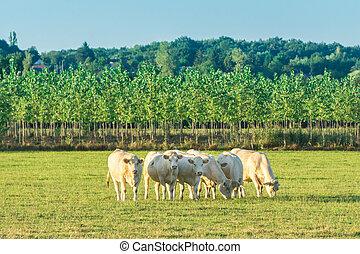 Herd of white bulls grazing in green meadow when the sun goes down, Bourgogne landscape. France, Burgundy.