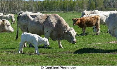 Herd of white catle. Sunny spring day