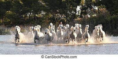 Herd of White Horses Running and splashing through water. Provance. France