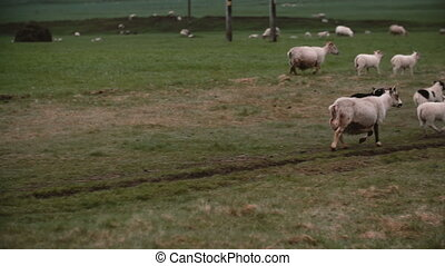 Herd of white sheep grazing on the mountain field together....