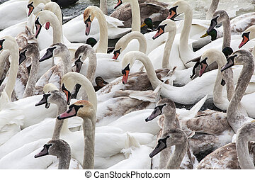 herd of white swans swimming on the river in winter