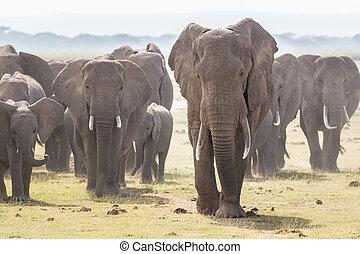 Herd of wild elephants in Amboseli National Park, Kenya. - ...
