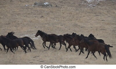 herd of wild horses galloping across the winter prairie - A...