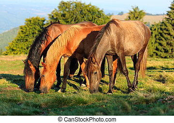Herd of wild horses grazing near the forest