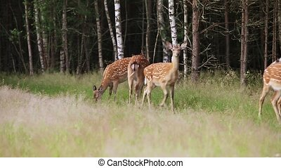 Herd of wild spotted deer grazing on the edge of the forest...