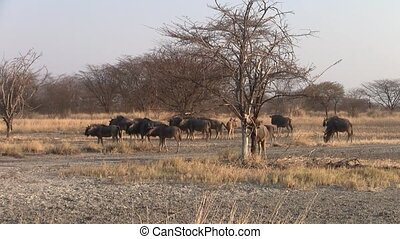Herd of Wildebeest in Dry Savanna, Makgadikgadi Pan, Botswana