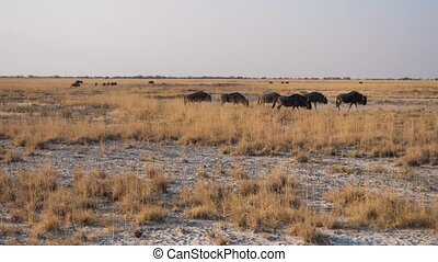 Herd of Wildebeest Walking in the Makgadikgadi Salt Pans