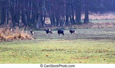 Herd of wildlife mouflon animals standing on meadow. Czech republic