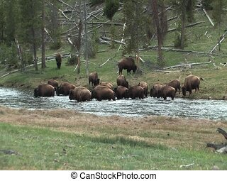 Herd of Yellowstone Buffalo crossin