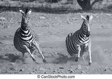 Herd of zebra fleeing from danger at dusty waterhole...