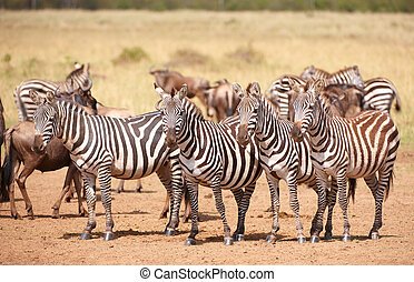 Herd of zebras (African Equids) and Blue Wildebeest (Connochaetes taurinus) standing in savannah in nature reserve in South Africa