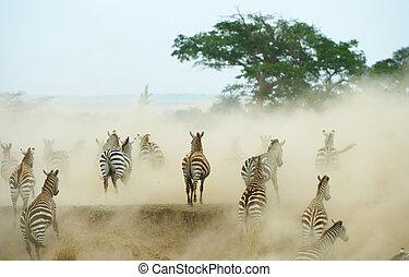 Herd of zebras (African Equids) running in the dust in...
