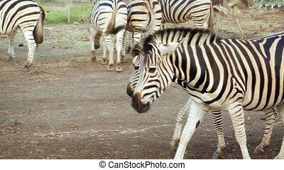 Herd of Zebras eating Grains in Safari Park - Herd of ...