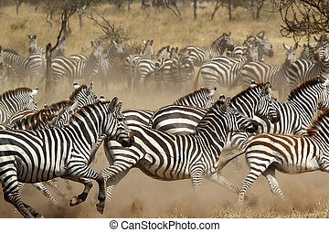 Herd of zebras gallopping - A herd of common zebras (Equus...