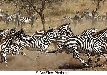 Herd of zebras gallopping - A herd of common zebras (Equus...