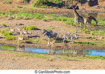 Herd of Zebras, Giraffes and Antelopes grazing on Shingwedzi riverbank in the Kruger National Park, major travel destination in South Africa. Idyllic frame.