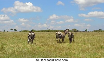 herd of zebras grazing in savanna at africa