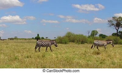 herd of zebras grazing in savanna at africa - animal, nature...