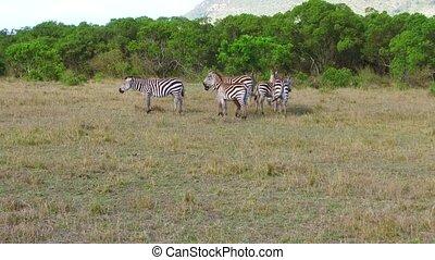 herd of zebras grazing in savanna at africa