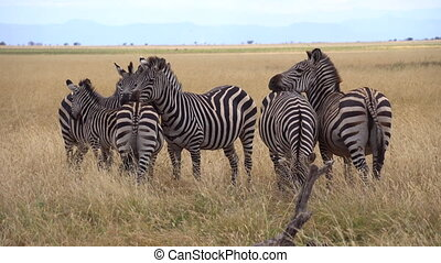 Herd of Zebras in African Savannah Close Up. Animals in Natural Habitat Tanzania