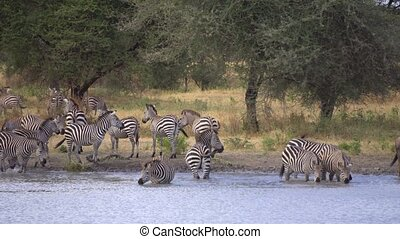 Herd of Zebras on Watering Place, Animals in Natural Environment, Africa