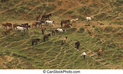 Herd or horses in a field - High angle wide shot of dozens...