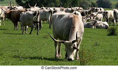 Herd - Beautiful hungarian grey bulls and horses in the...