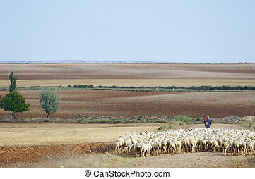 herd - Herd of sheep moving in a way