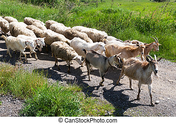 herd of sheep and goats
